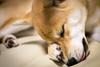 Yotsuba365 Day99 (Tetsuo41) Tags: dog shibainu yotsuba