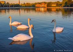 Swans at Sunrise (James Neeley) Tags: london hydepark kensingtonpalace sunrise jamesneeley