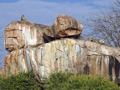 DSCN4005 (David Bygott) Tags: africa tanzania ruaha yellowbaboon kopje rock ruahariverlodge