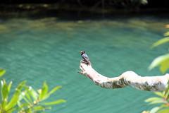 Prunus Trail (Yukkuriko) Tags: singapur singapore bearbeitet macritchiereservoir prunustrail vogel bird 鳥 シンガポール