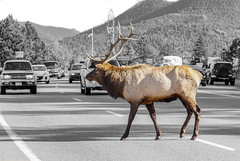 Bull Elk - Right of Way (BernieErnieJr) Tags: bullelk elk estespark colorado coloradowildlife wildlife sony70400mmg2 sonya77mkii frontrange greatphotographers teamsony rockymountains rockymountainnationalpark selectivecoloring mountains