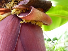 Musa acuminata 5 (heinvanwinkel) Tags: 2012 banaan bloemvandedag commelinids euphyllophyta hortus leiden liliopsida magnoliophyta mei mesangiospermae musaacuminata musaceae nederland petrosaviidae spermatophyta tracheophyta zingiberales