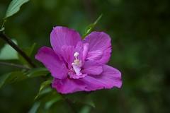 Hibiscus syriacus (Jim Mayes) Tags: canon eos digital zoom 24105mm ef ef24105mmf4lisusm
