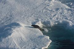 Harp seal 4 (Elvar H) Tags: arcticocean harpseal helmerhansen phocagroenlandica siarctic grnlandssel sealsampling vuselur