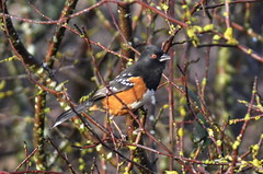 Spotted Towhee (glenbodie) Tags: glen bodie glenbodie dncb dike 201350 spotted towhee