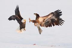 Bald Eagle (m_Summers) Tags: winter sunset bird nature utah northernutah eagle wildlife baldeagle raptor marsh fighting combat juvenile birdofprey bif birdinflight canon400mmf56 canon60d