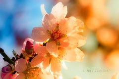Flor de almendro colorida (Jose Casielles) Tags: flores color primavera luz hojas invierno bellas yecla almendro gotasdeagua flordealmendro almendrosenflor josecasiellesfotgrafo
