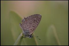 Mariposa sobre Verode Feb13 LZ (lanzarote rural) Tags: fauna lanzarote canarias alas mariposa insecto huertasdetabayescofeb13lz