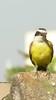 Bentivi na cerca (jeduardofn ~ Brasil) Tags: bird brasília natureza pássaro pitangussulphuratus bentivi