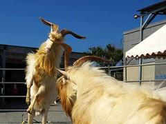The Goat Fights of Sesoko-jima (Ryukyu Mike) Tags: animals japan published culture goats okinawa fights