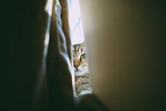Peek (.monodrift) Tags: cat nikon kitten tabby 28mm kitty curtains peek peeking d600