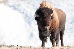Yellowstone Bison (Beau_Johnston) Tags: winter montana wildlife yellowstone wyoming bison greatnature beaujohnston