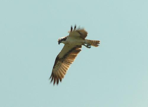Fiskgjuse / Osprey