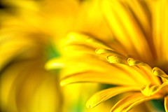 Yellow (blichb) Tags: flower macro yellow gelb gerbera blume makro onblack 2013 canon50d canonmacrolensef100mm128lisusm blichb