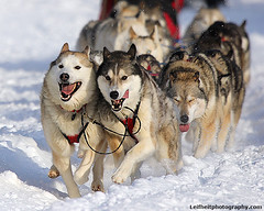 Iditarod 2013 (Critter Seeker) Tags: winter dog snow dogs animal animals alaska race canon outdoors racing canonrebel dogsled iditarod canont2i iditarod2013