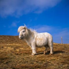 Pony on Moel Eilio (osh rees) Tags: blue winter sky horse hairy cute 120 6x6 film sunshine animals wales rolleiflex zeiss mediumformat square landscape fuji scan velvia pony carl snowdon ponies snowdonia 50 shetland planar eryri scn 35f imacon imaon