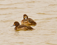 Greater Scaup (reddirtpics) Tags: oklahoma nature birds canon ducks waterfowl scaup greaterscaup nationalgeograhic eos7d hallbrooke reddirtpics