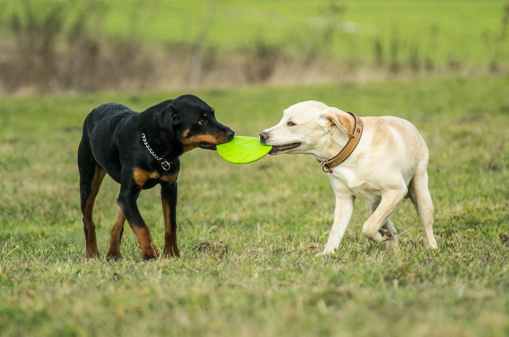 labrador retriever bilder  vorlagen zum ausmalen gratis