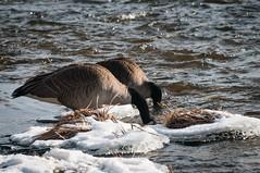 We are going in ! (Shokinen) Tags: winter canada river nikon ottawa goose rapid deschenes 70300 d300 rapide