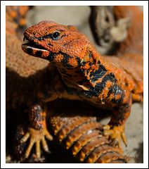 Spiny Tailed Lizard (Ken Came) Tags: nature nikon wildlife ken lizard came spiny tailed oceanarium d7000