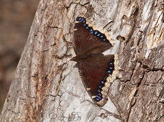 Mourning Cloak (JacquiTnature) Tags: nature butterfly insect spring wildlife lepidoptera wv nymphalisantiopa brushfootedbutterfly jacquit