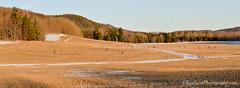 Deer Diner ... 139! (Ken Scott) Tags: winter panorama usa field march michigan lakemichigan greatlakes deer grazing freshwater voted leelanau 2013 firstthaw sbdnl sleepingbeardunenationallakeshore mostbeautifulplaceinamerica lotodeer 139deer