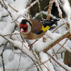 23Mar13 Goldfinch on Snowy Branches (Daisy Waring World) Tags: goldfinch snowybranches