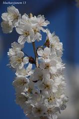 Sakura #3 ~Wild Cherry/Sweet Cherry~ (bluehazyjunem) Tags: cherry march ange mid keio handhold tamron70300 2013 wildsweet