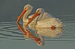 American White Pelicans Breeding Pair (cetch1) Tags: wild bird nature pelican breeding horny americanwhitepelican breedingplumage pelecanuserythrorhynchos wildlifeaction lasgallinaswildlifeponds northerncaliforniawildlife