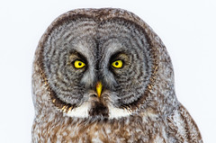 Great Grey (Bryan O'Toole) Tags: portrait ontario canada bird gg nikon wildlife greatgreyowl owl birdofprey saultstemarie northernontario algoma greatgrey stjosephisland nikond7000 nikonafs600mmf4vr