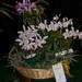 C. intermedia varieties – Renate Schmidt