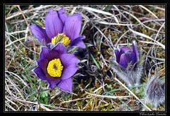 Anmone pulsatille (Pulsatilla vulgaris) (cquintin) Tags: flower fleur anmone vulgaris pulsatilla pulsatille
