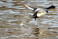 greater scaup duck in flight (laurie_frisch) Tags: birds duck inflight ia greater scaup cedarrapids migratorybirds ellispark