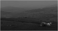 The Grain of Rain (Dazzygidds) Tags: sheep cheshire grainy raining murky desolation poorlight lyinglow gritstonetrail spondshill gritstoneway viewfromspondshill