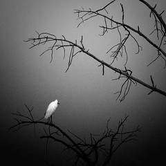 On the other side (Photambule) Tags: light blackandwhite tree bird nature square darkness noiretblanc sony 66 deadtree alpha arbre egret oiseau snowyegret hron arbremort aigrette