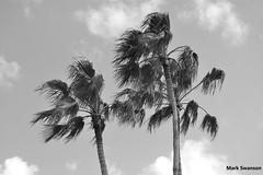 Disney Palms (mswan777) Tags: world travel trees vacation sky white black nature clouds landscape blackwhite epcot nikon d70 florida disney palm