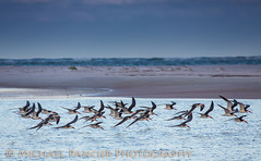 Skimmers At DeSoto (Michael Pancier Photography) Tags: gulfofmexico birds stpetersburg us unitedstates florida birding northbeach birdsinflight fortdesoto skimmers pinellascounty commercialphotography migratorybirds naturephotographer floridabirds blackskimmers michaelpancierphotography avianphotography landscapephotographer fineartphotographer floridabirding michaelapancier gulfbeaches tieraverde wwwmichaelpancierphotographycom