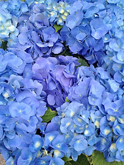 Hydrangea (Nada*) Tags: blue flower color colour cute nature mobile japan asian tokyo petals asia soft pretty purple lilac bloom flowering hydrangea hue 4s iphone iphonegraphy iphone4s