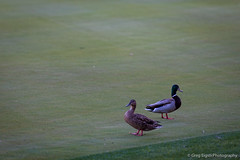 Golf ducks (Will shoot for lenses) Tags: vacation green golf us spring flickr palmsprings april wa ranchomirage lightroom sammamish 2013 topazadjust topazdenoise canoneos5dmarkiii ef70200mmf28lisiiusm 910islanddrive