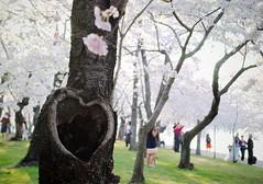 heart knot (ekelly80) Tags: pink flowers light tree washingtondc morninglight dc spring heart blossoms knot trunk cherryblossoms tidalbasin april2013 heartknot