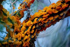 Super Fungus (Fly Sandman) Tags: orange fungi cedar fungus campswampy fortcrowder bicentennialconservationarea mortwalkertrail