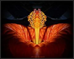 Abutilon (Jodie Marsh) Tags: flowers orange flower macro reflection flora abutilon flowersasart asingleflower unforgettableflowers bestofunforgettableflowers flickrsfinestimages1 tbouf413