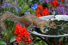 Cute Enough for Disney (Adamk0310) Tags: flowers blue red color colour cute water animal fauna canon geotagged squirrel birdbath colorful florida wildlife drinking adorable disney epcotcenter themepark worldshowcase unitedkingdompavilion twiningsteagarden