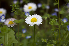 Feel like a daisy (Lalluz PJ) Tags: flowers summer white flower verde green primavera grass yellow daisies spring estate giallo daisy bloom fields flowering fiori fiore petali bianco margherita bianchi petalo margherite gialli fioritura
