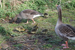 Greylag goose and babies (vhs2008) Tags: park lake tree bird water birds goose pump egret lackfordlakes greylag greylaggoose weststowpark