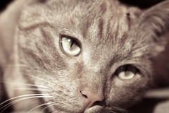 (SofiDofi) Tags: beautiful face oslo cat outdoors furry feline martin april sagene upandclose rememberingoldtimes spring2010
