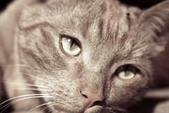 (SofiDofi) Tags: beautiful face oslo cat outdoors furry feline martin april sagene upandclose rememberingoldtimes spring2010