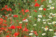 Wild Flowers Meadow Kent (Adam Swaine) Tags: uk summer england english nature gardens daisies canon sissinghurst kent flora britain meadows wildflowers poppys 2016 swaine