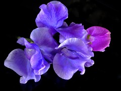 Obsession (Pufalump) Tags: sweetpea purple nature garden petals macro black green lilac obsession beautiful delicate