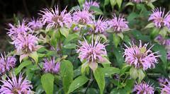 3-IMG_3528 (hemingwayfoto) Tags: berggarten blte blume hannover indianernessel lippenblter monardefistulosa nordamerika prriegarten sommer wild